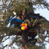 Courageous woman in a tree to preserve Willits valley