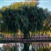 Willow del Sol