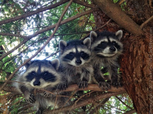 3 young raccoons in tree