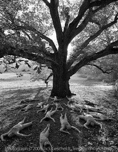 Beloved Oak