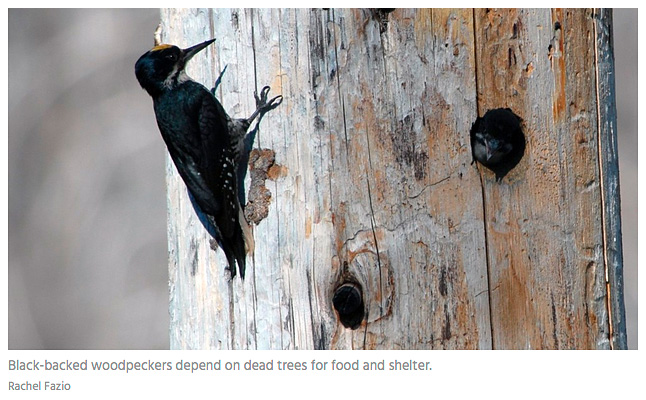 woodpecker-Black-backed-dead-tree-by-Rachel-Fazio.jpg