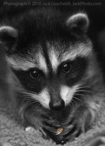 Tiny-Tim-the-raccoon.jpg