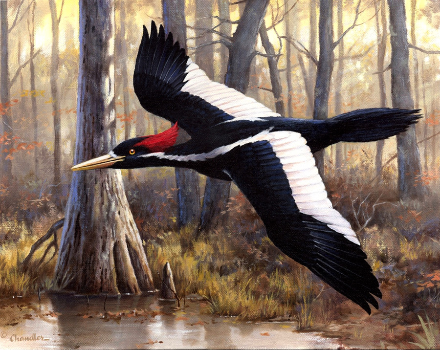 woodpecker-ivory-billed-20-inch-by-Chandler-900pixel