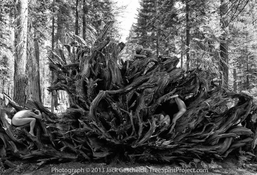 Sequoia Root