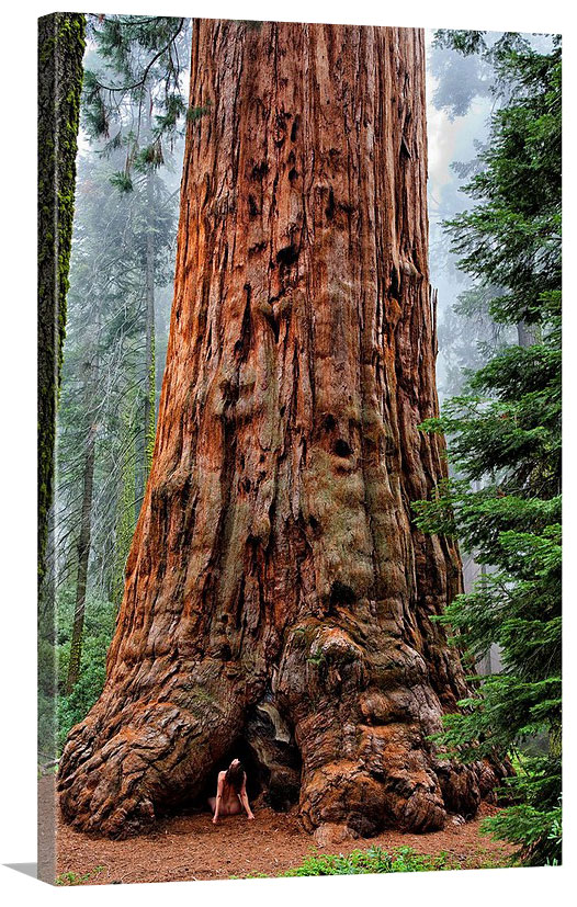 Sequoia-Adoration-TreeSpirit-CANVAS-no-BG-WEB