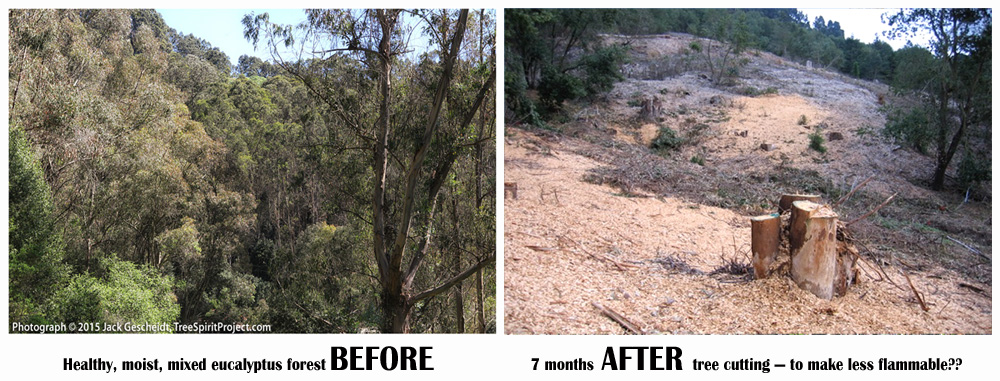 BEFORE-AFTER-eucalyptus-forest-cut_8154-hcn-v4-1000p-WEB.jpg