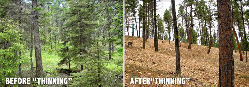 Before-After-forest-thinning-Stop-Thinning-Forests-Colorado-website-TSP-rev1.jpg