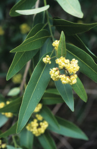 California-Bay-Laurel-leaves-vertical