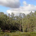 eucalyptus forest photo