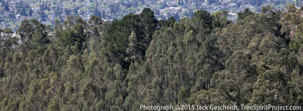 eucalyptus-mixed-forest-East-Bay_8144-1200p-NARROW-CROP-WEB