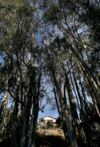 eucalyptus-trees-prevent-wildfires-SF-Chronicle.jpg