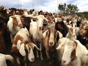goats-Goats-R-US-900p-WEB