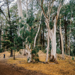 eucalyptus-trees-in-California-by-Chad-Ress.jpg