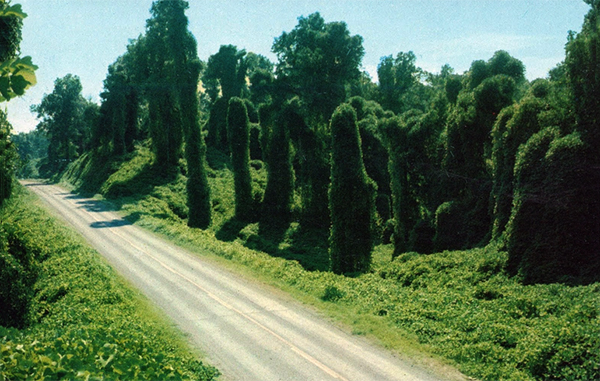 kudz-roadsides-the-vine-that-never-truly-ate-the-south.jpg.jpg