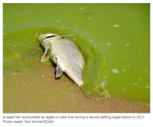 glyphosate-algae-bloom-kills-fish-Lake-Erie.png