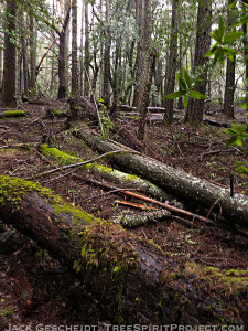 decaying-trees-food-for-forest-floor-Mt-Tam-CA-1.19-1000p