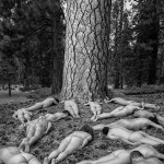 Ponderosa-Pattern-TreeSpirit-Project-8443-5-v2-BW-1000p-WEB