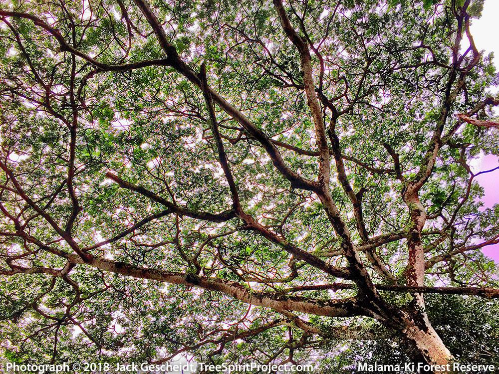 tree-canopy-Malami-Ki-Forest-Hawaiian-TreeSpirits--1000p-WEB
