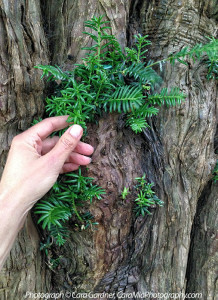 yew-tree-CU-hand-CaraMia-Photography-3941-800p-WEB.jpg