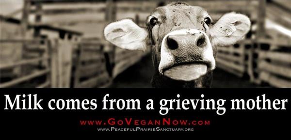 Milk-comes-from-grieving-mother-Go-Vegan-Now.com.jpg