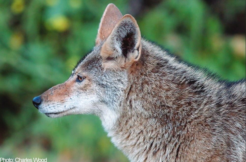 coyote-American-Humane-Society-Wildlife-Services-Disservice-REPORT-2015.jpg