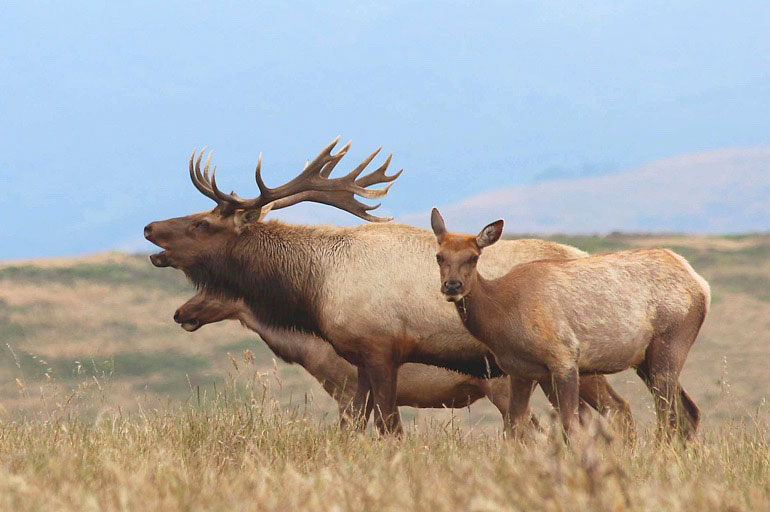 Conservationists-upset-as-much-of-Point-Reyes-National-Seashore-of-tule-elk-herd-dies-of-thirst-PHOTO-by-NPS-Peter-Fimrite-SF-Gate-Chronicle-article-photo.jpg