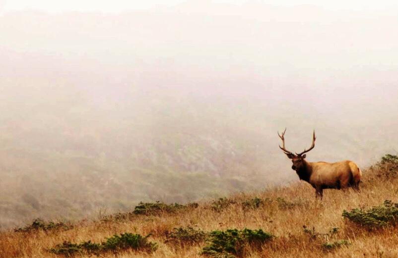 tule-elk-Point-Reyes-National-Seashore-San-Francisco-Chronicle-photo-by-Jessica-Christian.JPG