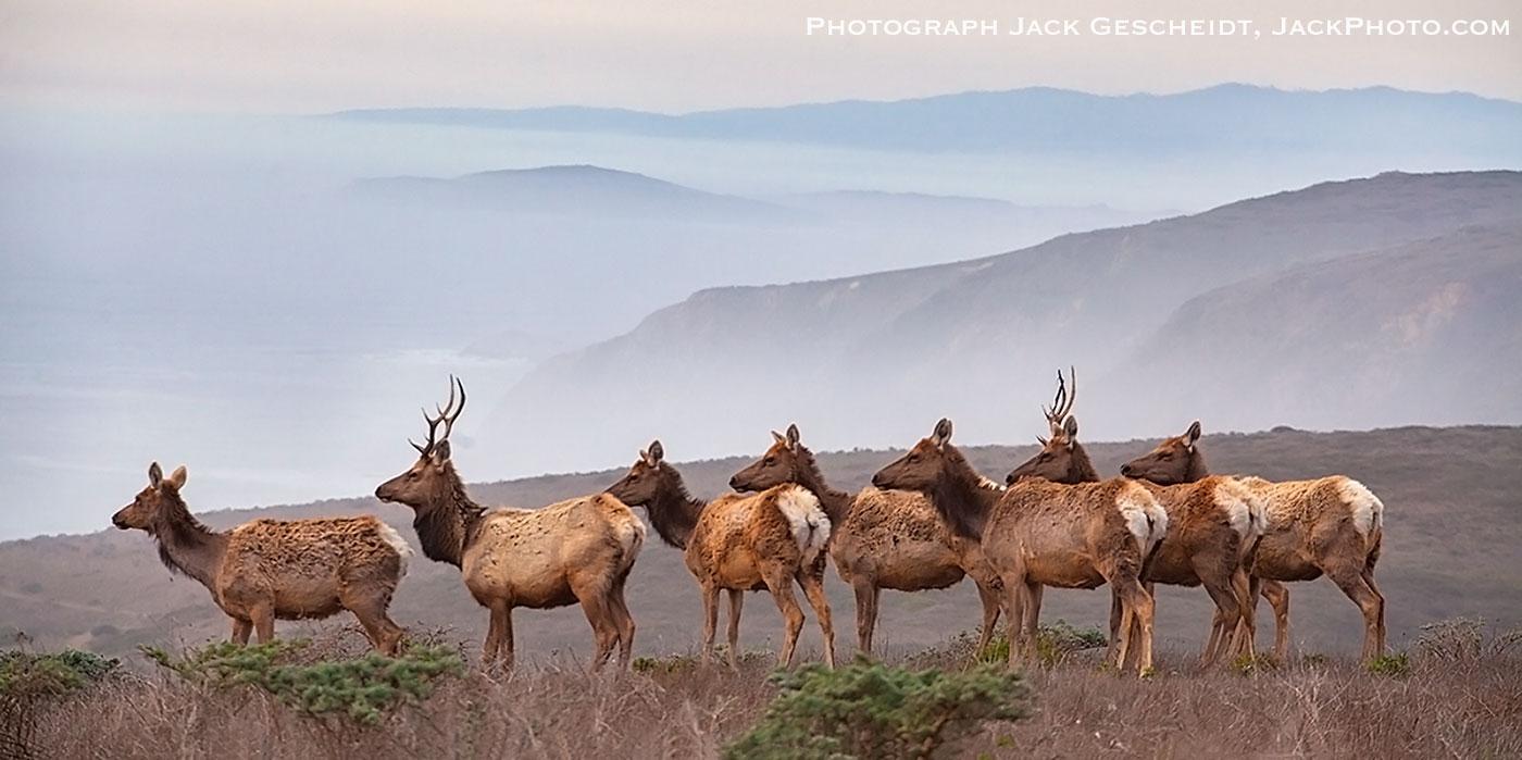 tule-elk-herd-sunset-Point-Reyes-National-Seashore-Preserve-by-Jack-Gescheidt-TreeSpirit-Project.com-1400p-WEB.jpg