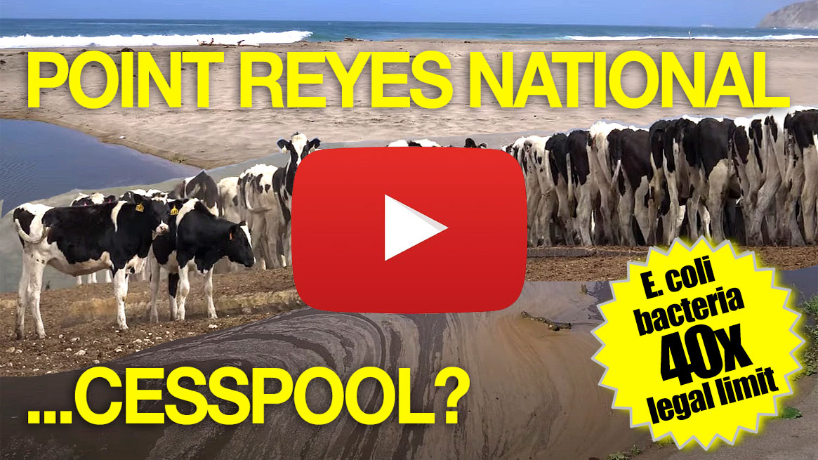 Cesspool-at-the-Seashore-VIDEO-Point-Reyes-National-Seashore-cow-fecal-water-quality-pollution-bacteria-e-coli-coliform-enterococcus-w-YouTube-play-v4-1165p-WEB