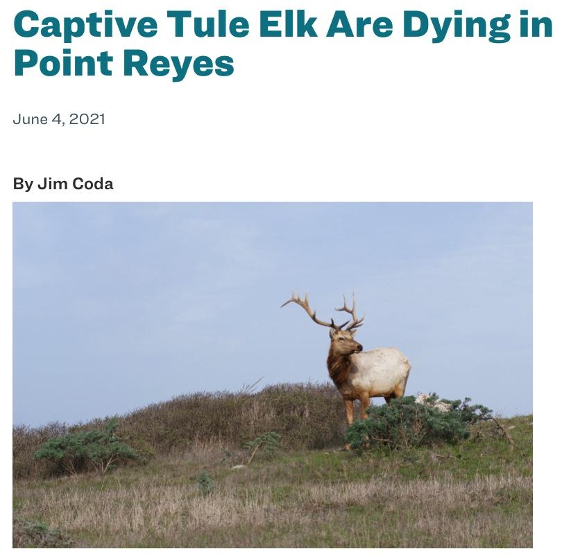 Sierra-Club-Bay-Area-Chapter-Tule-Elk-Are-Dying-in-Point-Reyes-National-Seashore-by-Jim-Coda.screensnap.jpg