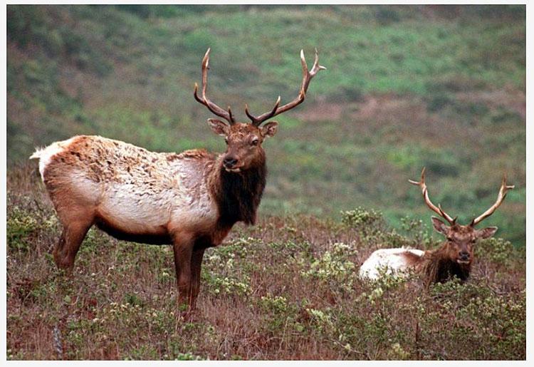 Tule-elk-Point-Reyes-National-Seashore-Associated-Press-animal-rights-group-sues-National-Park-Service-over-dying-Tule-elk.jpg