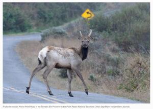 Tule-elk-crosses-Pierce-Point-Road-Tule-Elk-Reserve-Point-Reyes-National-Seashore-Marin-Independent-Journal-Will-Houston-June-11-2021.jpg
