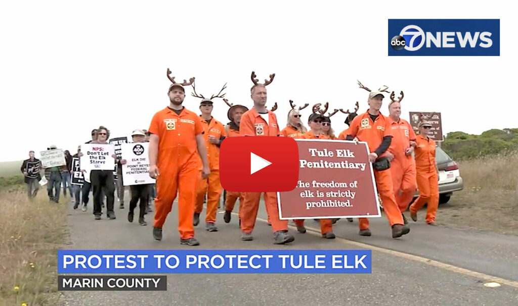 ABC-7-TV-News-Point-Reyes-Tule-Elk-Prisoners-DEMO-July-3-2021-by-Dan-Noyes-w-ABC-7-LOGO-and-PLAY-button-1200pixel.jpg