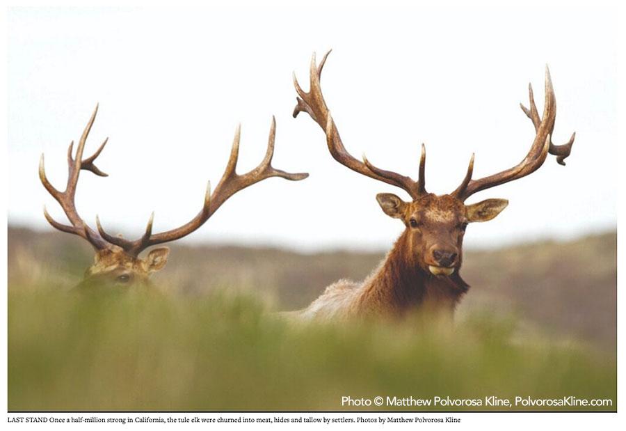Pacific-Sun-Tule-Elk-DEATH-by-DESIGN-Pacific-Sun-photo-Matthew-Polvorosa-Kline.jpg