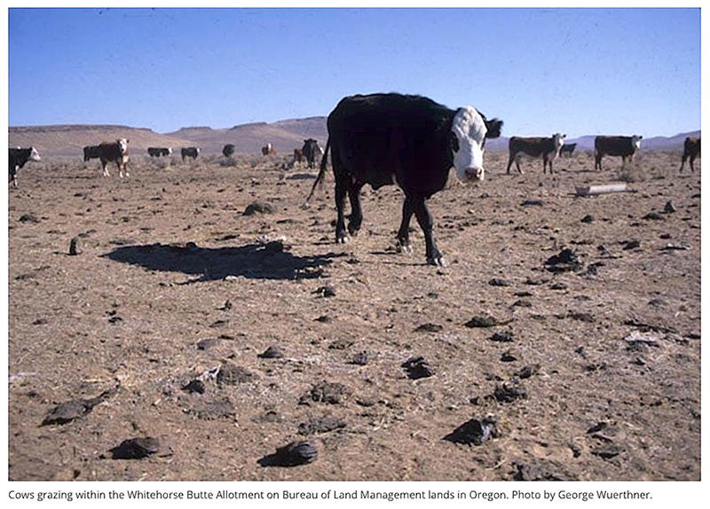 Wild-Earth-Guardians-Cattle-Grazing-destructive-John-Horning-Photo-George-Wuerthner.jpg