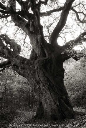 Grandmother Tree (empty)
