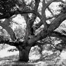 Ancient Oak Journey