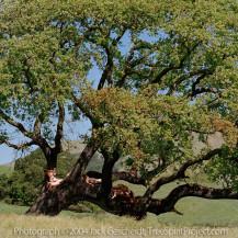 Oak Tribe