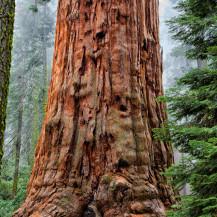 Sequoia Adoration